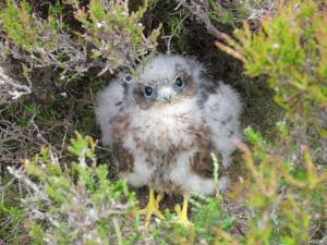 Merlin chick, Perthshire, 29th June 2013, K Brockie (1)