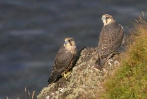 Juvenile Peregrines S Ayrshire