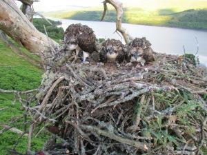 KB, Osprey brood, Loch Tay 2014