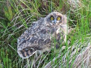 KB, Short-eared Owl chick
