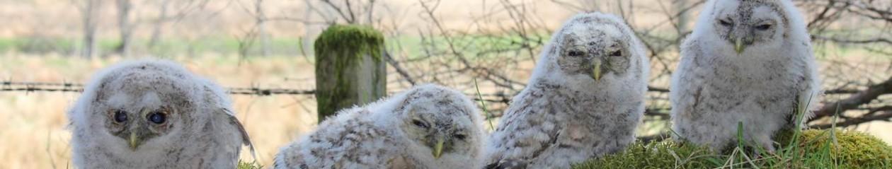 Long-earedOwl